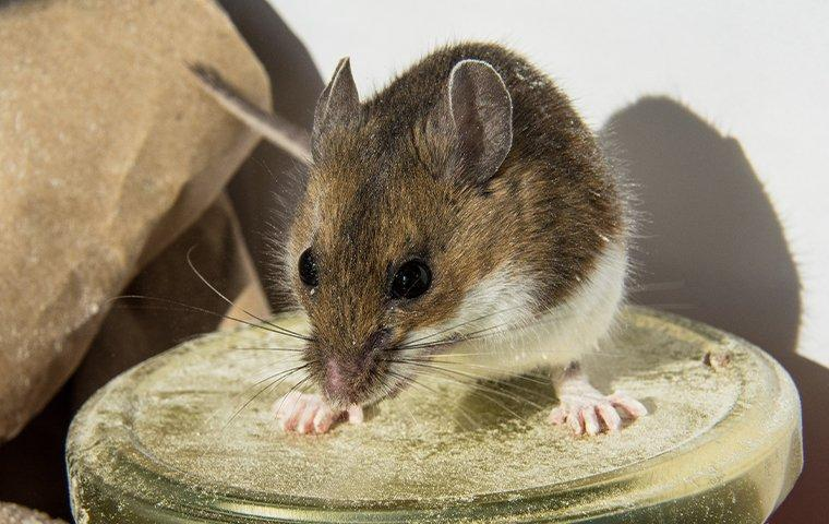 a house mouse on top of a jar