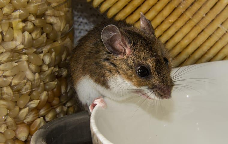 a house mouse infesting a plano texas food pantry