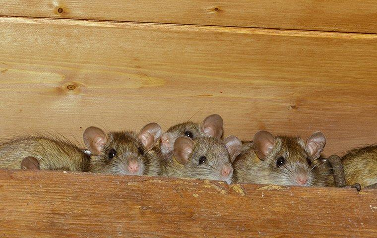 small rats in the eave of a home