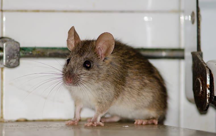 a roof rat within a richardson texas home