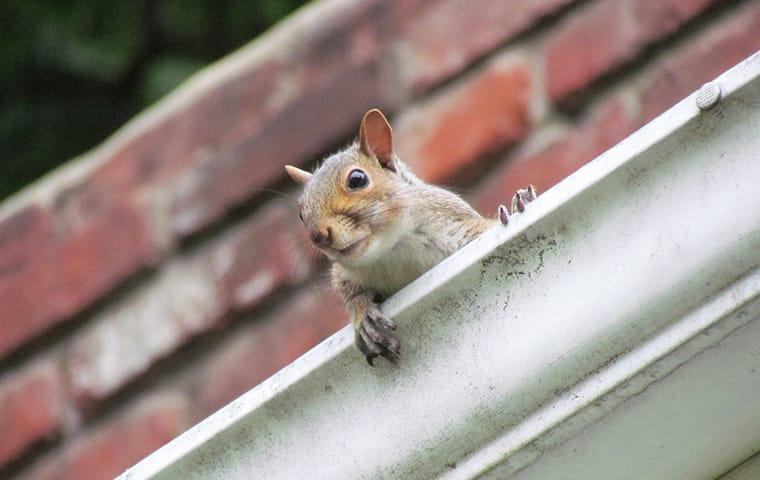 a squirrel clumbing up to the roof and through the rain gutters of a brick house in plano texas