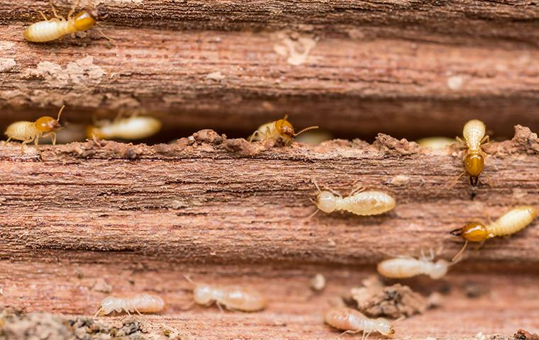 a large swarm of rapidly growing termites swarming their way through a wooden structure on a dallas texas property