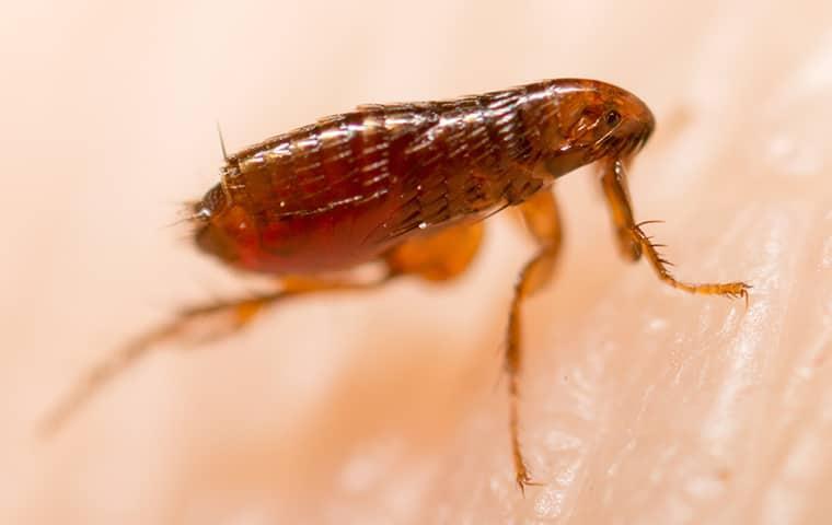 a flea on a persons skin in rockwall texas