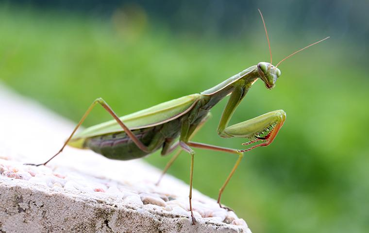 a praying mantis outside a home in prosper texas