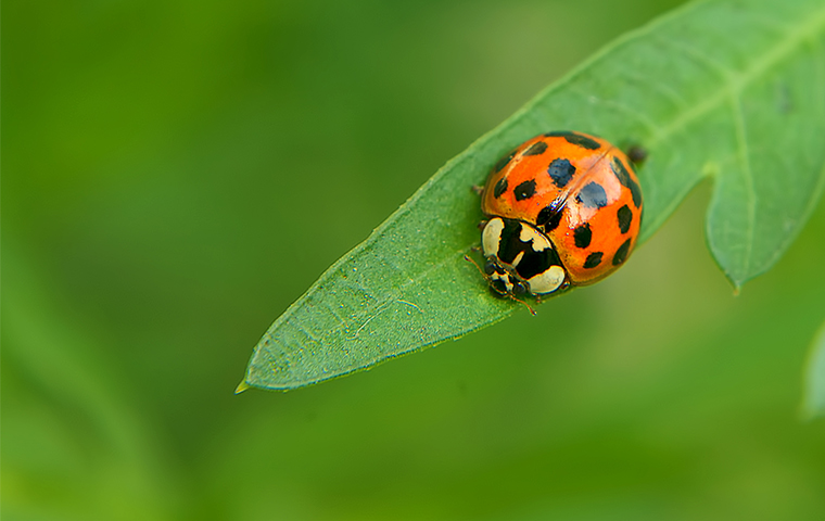 a ladybug on a plant outside a home in little elm texas