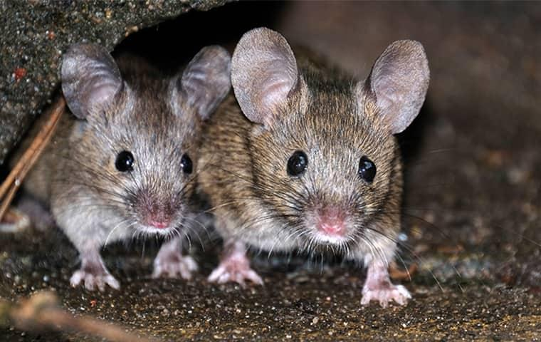 two rats inside a home in lewisville texas