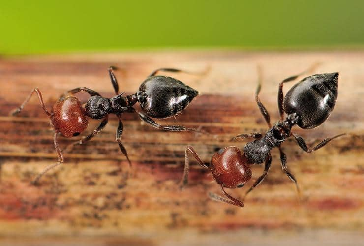 acrobat ants in greenville sc