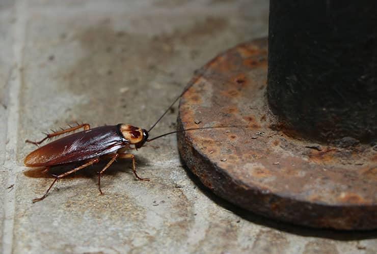 american cockroach near pipe