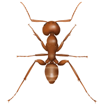 illustration of what an argentine ant in south carolina looks like