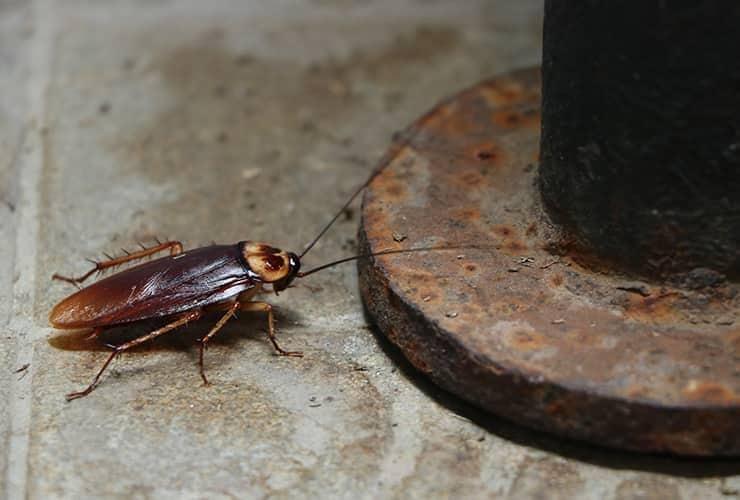 american cockroach in a south carolina basement