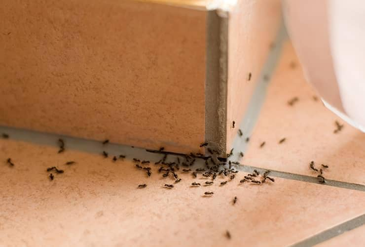 ant infestation in a south carolina home