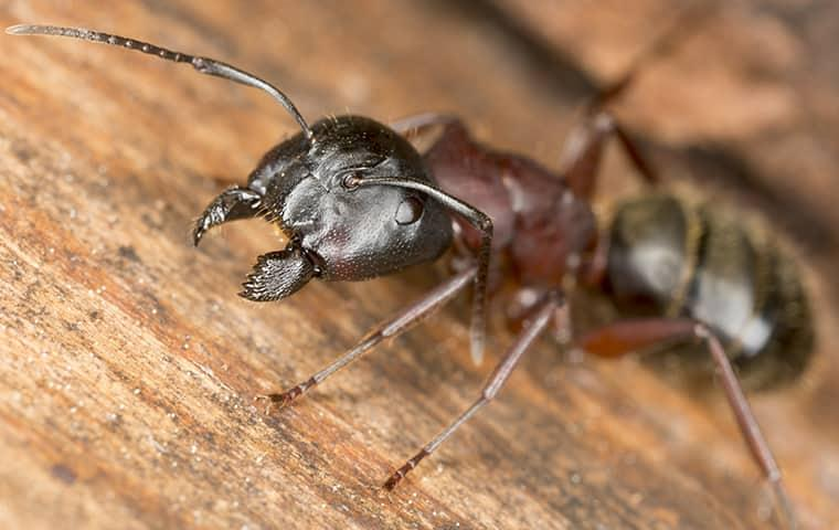 a black carpenter ants scattering across a wooden structure on a greenville property