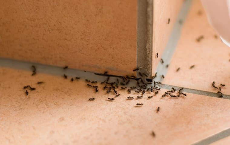 a large colony of ants clustered around the corner of a tiled greenville south carolina kitchen