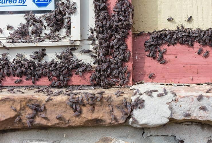box elder bug infestation in south carolina home