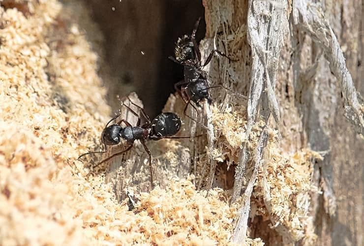 carpenter ants building nest in south carolina