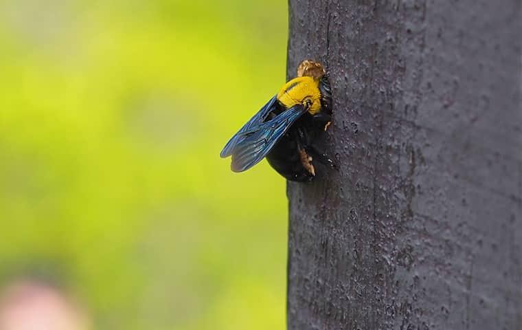 carpenter bee on tree