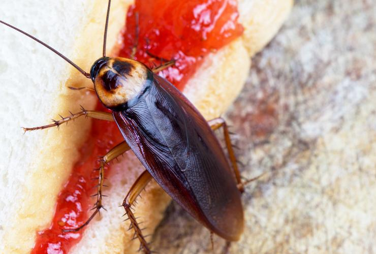 a cockroach on a greenville south carolina picnic table feasting on a jelly sandwich