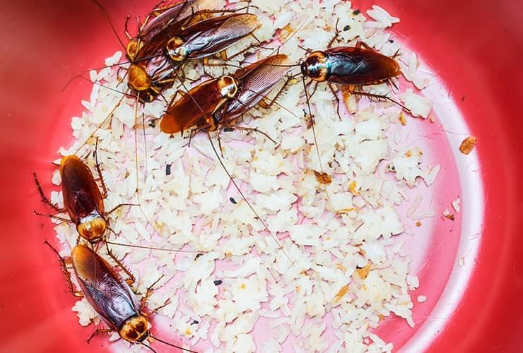 cockroaches in bowl of rice
