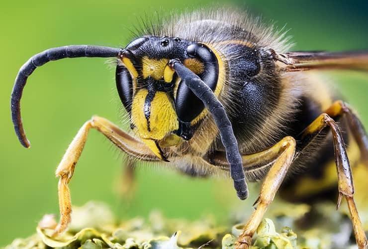 european hornet close up