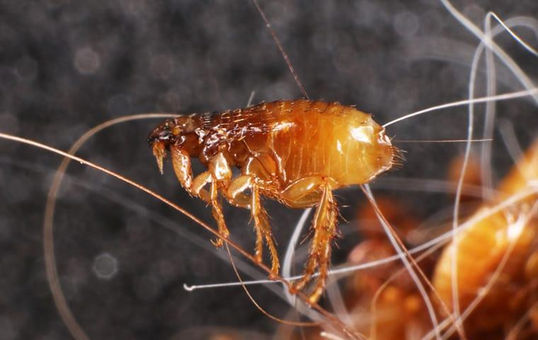 a flea that is so small it can balance on one blade of human hair belonging to a greenville south carolina
