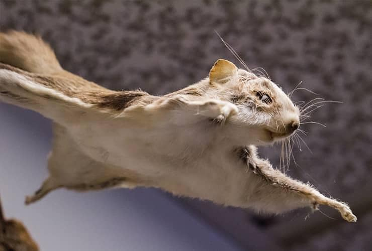 close up image of a flying squirrel