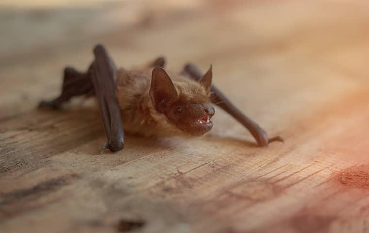 a small brown bat separated from its family nesting in a greenville attic