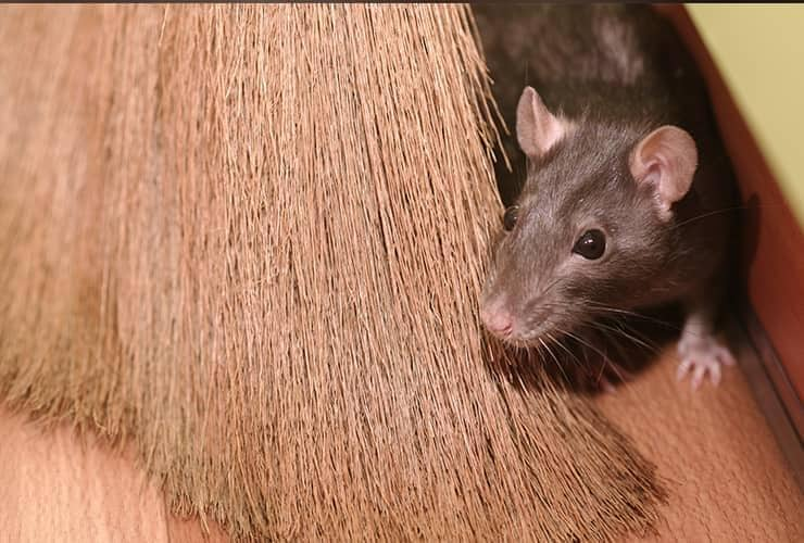 mouse hiding behind a broom