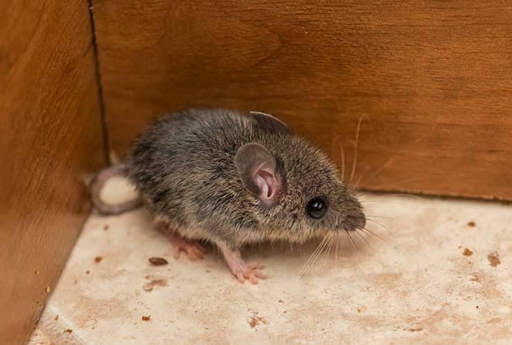 mouse in cabinet