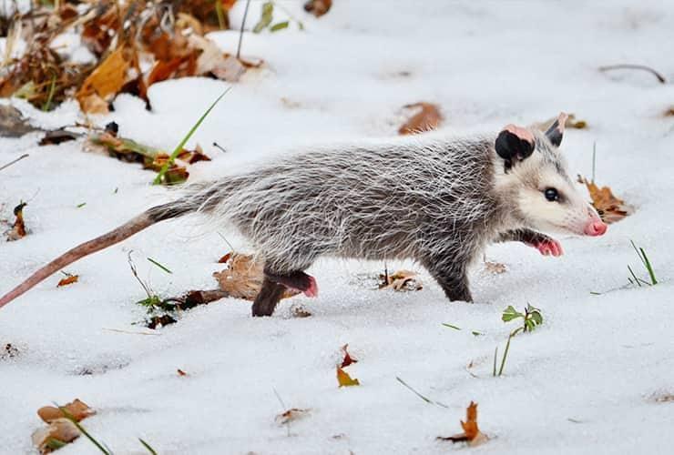oppossum in snow during south carolina winter