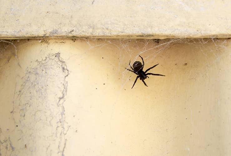 spider in south carolina home