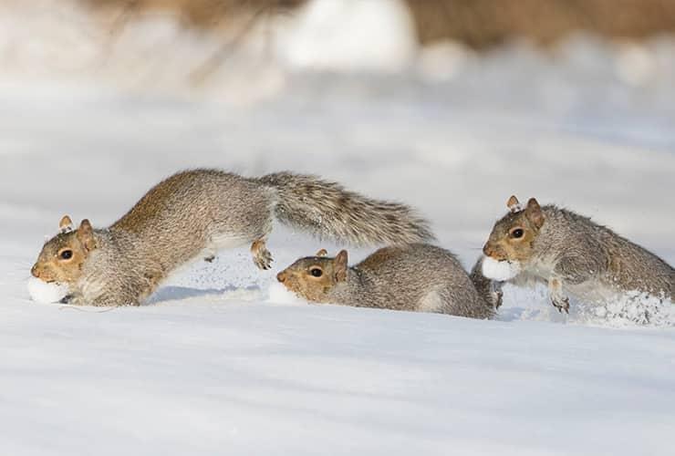 squirrels running through the snow