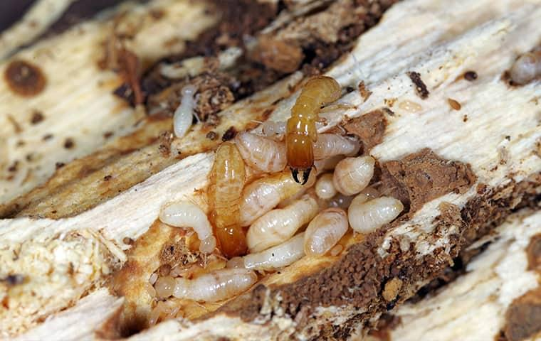 a very large growing colony of termites fully borrowed through a wooden structure on a greenville property