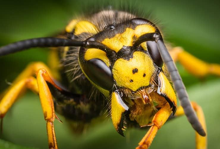 wasp in greenville south carolina