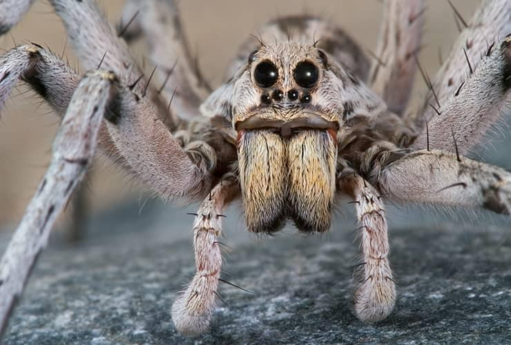 wolf spider close up picture
