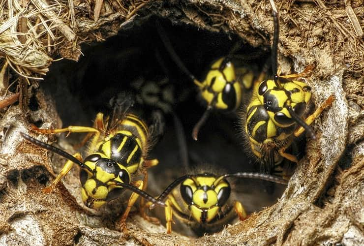 yellow jackets looking out of a nest