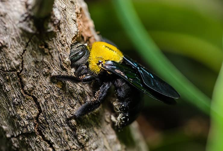 carpenter bee in greenville south carolina