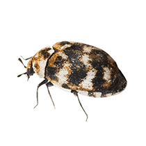 illustration of what a carpet beetle looks like in south carolina