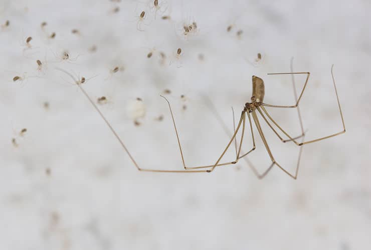 cellar spiders in a web