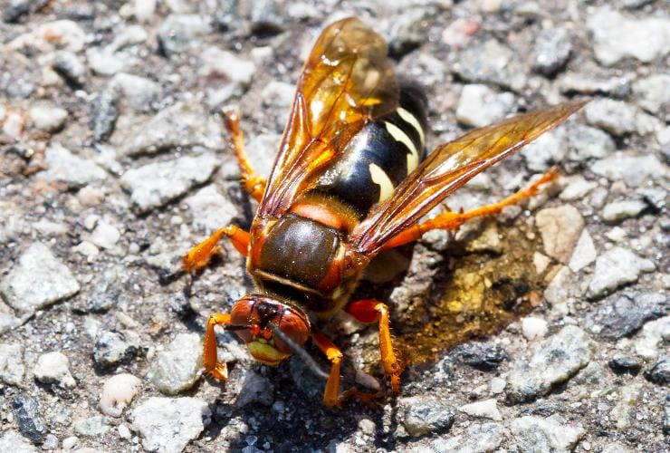 a cicada killer rests on pavement outside a greenville south carolina home