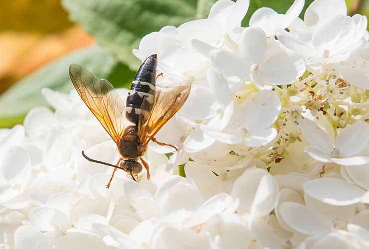 cicada killer wasp on flowers in boiling springs sc