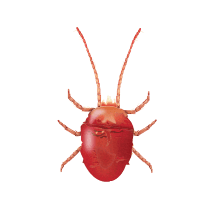 illustration of what a clover mite looks like in south carolina