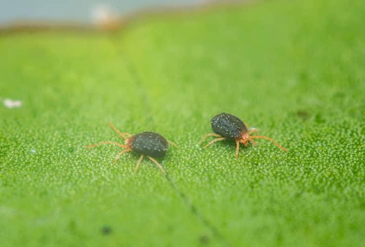 clover mites in greer south carolina