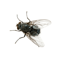 illustration of what a cluster fly looks like in south carolina