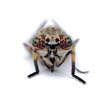 illustration of what a deer fly looks like