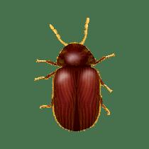 illustration of what a drugstore beetle looks like