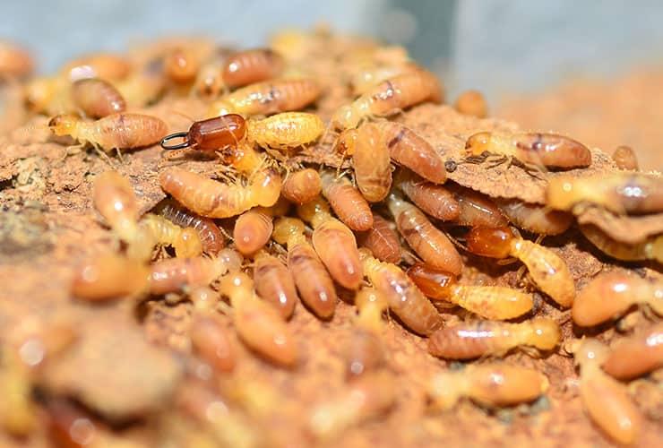 eastern subterranean termites in greenville sc