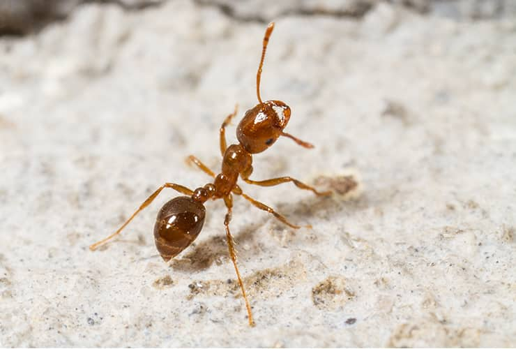fire ant in greenville south carolina