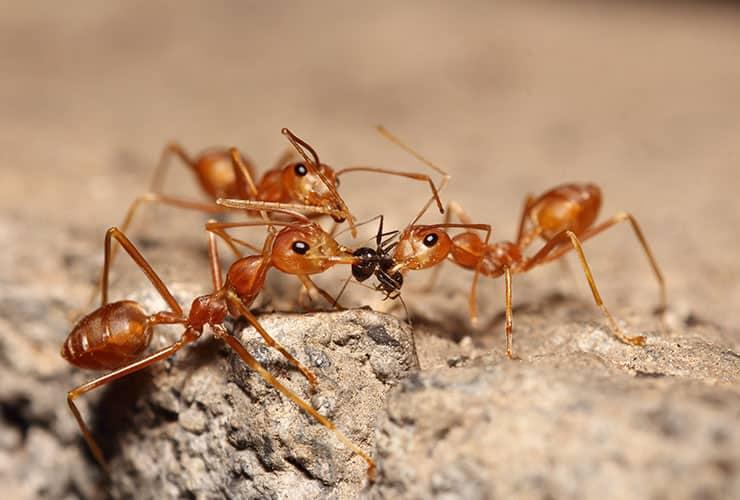 fire ants in greenville south carolina