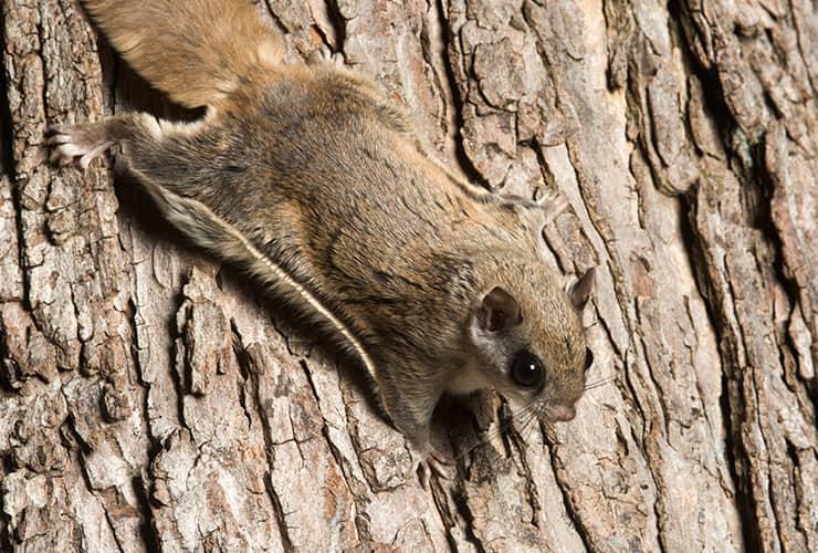 flying squirrel in spartanburg