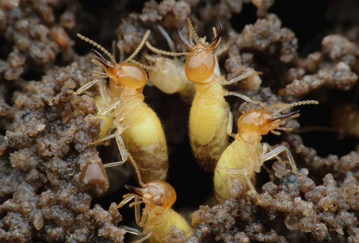 formosan termite in greenville sc